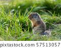Ground Squirrels of Banff National Park Alberta Canada 57513057
