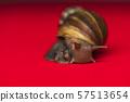 Macro snail in studio 57513654