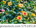 Beautiful of colorful hibiscus flowers in public garden at Ho Chi Minh City, Vietnam. 57516518