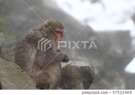 지고 쿠 다니 야생 원숭이 공 원의 스노우 몽키 57522469
