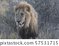 Adult male lion stands in short dry grass 57531715