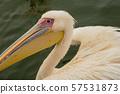 Profile of a Great White Pelican 57531873