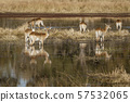 Impala often stand in knee-deep water when eating 57532065