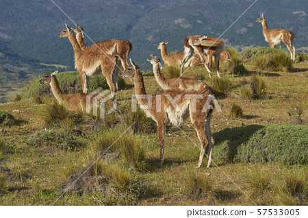 Guanaco in Valle Chacabuco 57533005