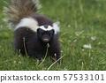Humboldt's hog-nosed skunk 57533101