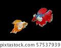 Betta, Siamese fighting fish on a black 57537939