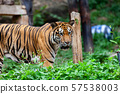 The tiger in the zoo looks at the electric wire, 57538003