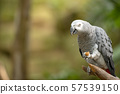 African Grey Parrot in green park 57539150