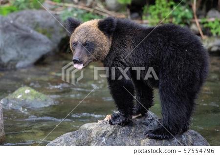 知床的棕熊 57554796