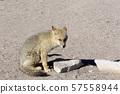 A jackal picture 57558944