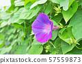 파란색 나팔꽃의 꽃 57559873