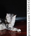 cute short hair young AMERICAN SHORT HAIR breed kitty grey and black stripes home cat relaxing lazy on brown wooden floor portrait shot selective focus blur background 57564543