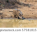 African pig Warthog in South Africa safari 57581815