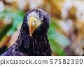 Beautiful close-up shot of a Steller's Sea Eagle. 57582399