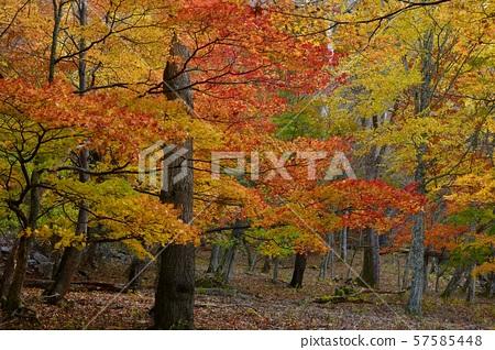 湖Chuzenji北部岸的秋葉森林 57585448