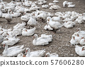 geeses in a goose farm 57606280