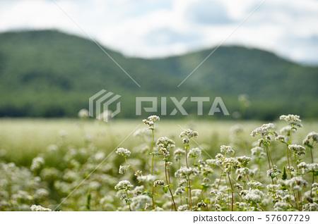 메밀 밭 (홋카이도 호로 카나이 정) 57607729