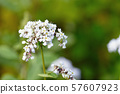 메밀의 꽃 (홋카이도 호로 카나이 정) 57607923