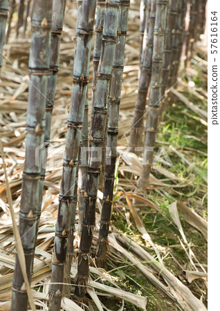 sugarcane plants in growth at field 57616164