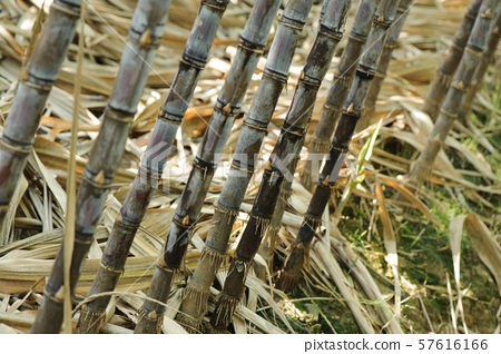 sugarcane plants in growth at field 57616166
