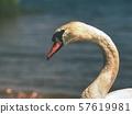 Breeding of wild Swan feeding on lake bank, close 57619981