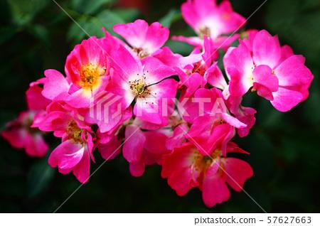 Autumn blooming rose 57627663