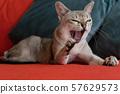 Singapura cat yawning on the red sofa. 57629573
