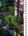 Marijuana potted on the balcony of the house 57636845