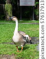 Adult Goose in the farm 57637913