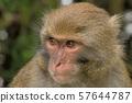 台湾猕猴 (塔塔加) 57644787
