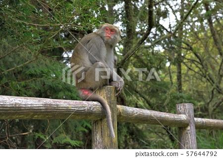台灣獼猴 (塔塔加) 57644792