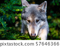 Single beautiful wild wolf outdoors at summer day 57646366