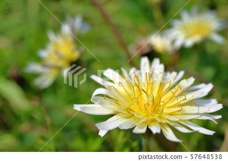 White flower dandelion 57648538