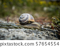 Snail at the cotton castle in Pemukkale 57654554