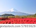 富士山和Kochia在秋天 57655626