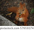 Squirrel eating food on the ground in the park 57659374
