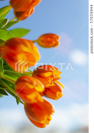 Spring  orange tulips on blue sky background 57659944
