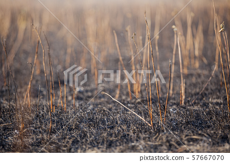 cane field after fire background 57667070