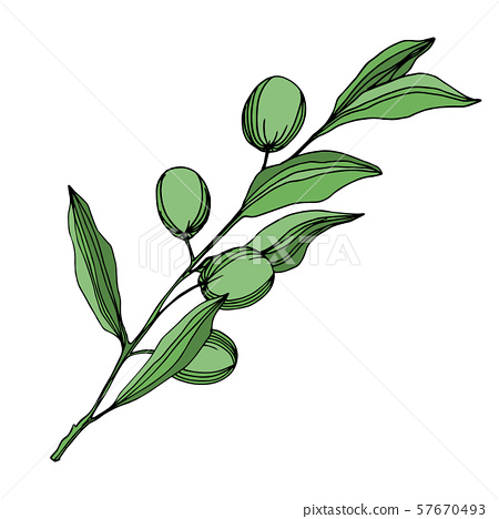 Vector Olive branch with fruit. Black and white engraved ink art. Isolated olive illustration 57670493