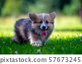 Red dog welsh corgi pembroke  puppy running in the green grass. 57673245