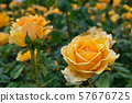 Blooming yellow roses in the English garden 57676725