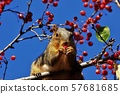 Red Fox Tail Squirrel eating red berries 57681685
