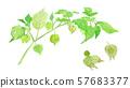Physalis pubescens 센 나리 꽈리 57683377