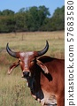 Brahma Bull with Horn's in a pasture with tree's and blue sky. 57683580
