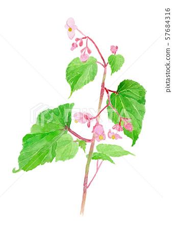 Begonia grandis 베고니아 57684316