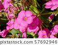 미타카 중원에 피는 핑크의 옥살리스 (하나카타바미)의 꽃 57692946