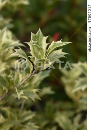 Holly osmanthus Variegatus 57693017