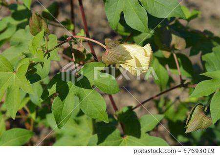 Levant cotton 57693019