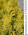 Minima Aurea False cypress 57693045