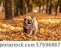 A pug dog wrapped in a scarf walks in the autumn 57696867